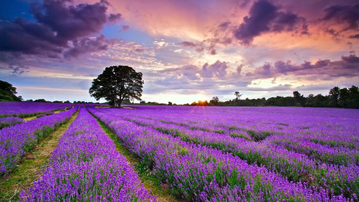 Lavander in the Provence